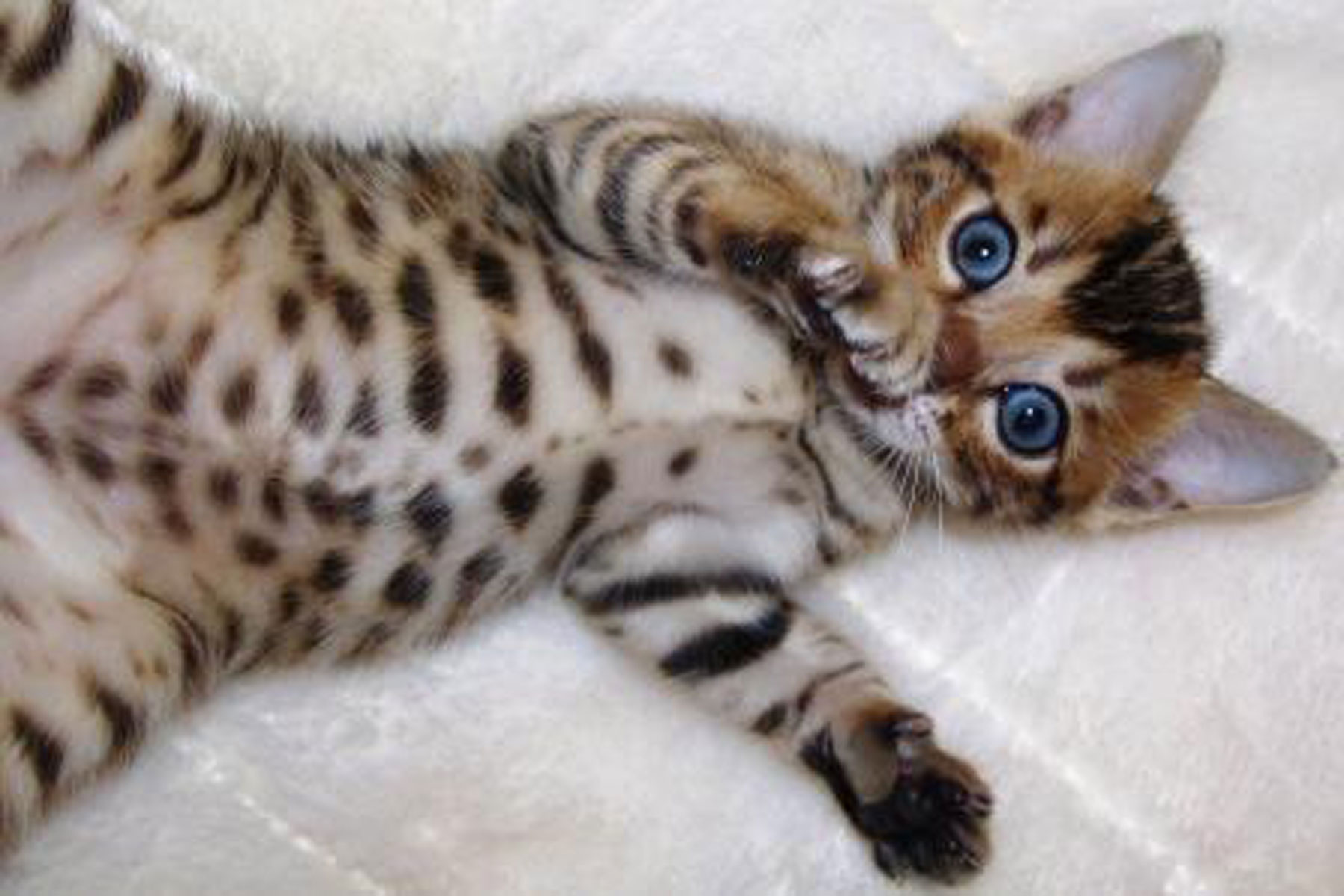 50 Cute Bengal Cat Kittens for Sale | Kittens cute wallpapers