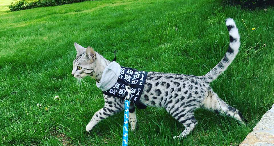 Quality Bengal Kittens in CT