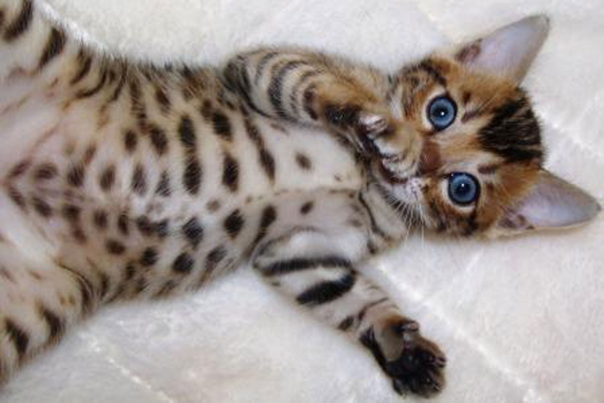 Snow Leopard Bengal Kittens & Cats for Sale