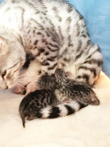 Bengal Kittens | TICA registered | Bengal Cats | New England | Breeder