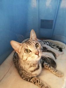 Bengal Kittens | TICA registered | Bengal Cats | New England | Breeder