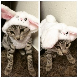 Bengal kittens for sale in Connecticut CT