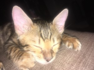 Brown Bengal Kitten for Sale CT